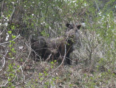 ヤビツ峠の鹿