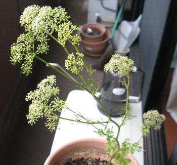 パセリ開花